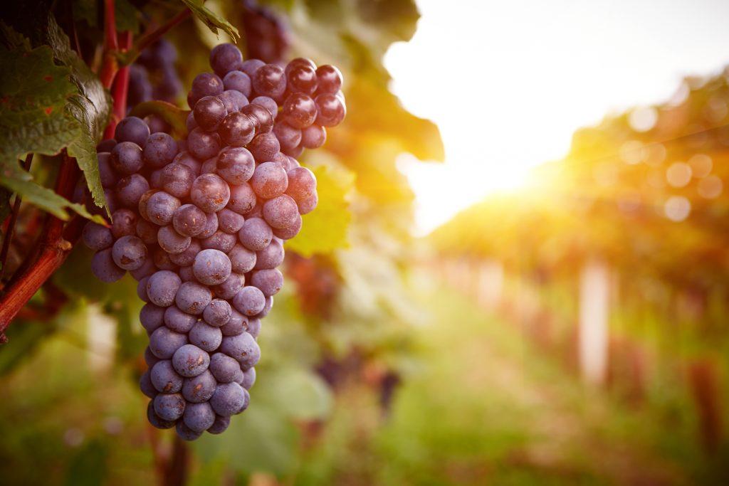 Antioxidant OPC geeft de rode kleur aan druiven